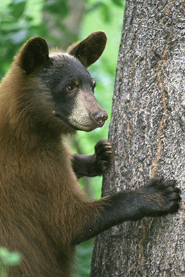A young black bear standing and grasping a tree.