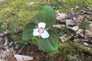 A painted trillium on a carpet of moss.